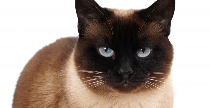 portrait of a siamese cat in seal point with blue eyes